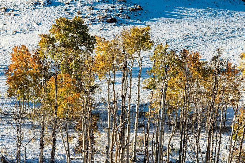 Aspens in fall color in snow along Utah Highway 12.