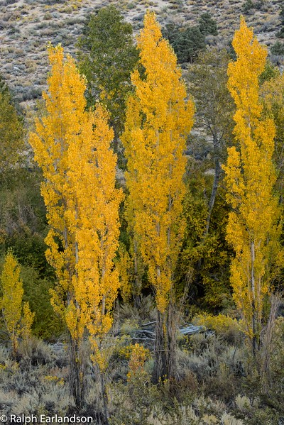 Aspens with golden leaves near Bishop Creek.