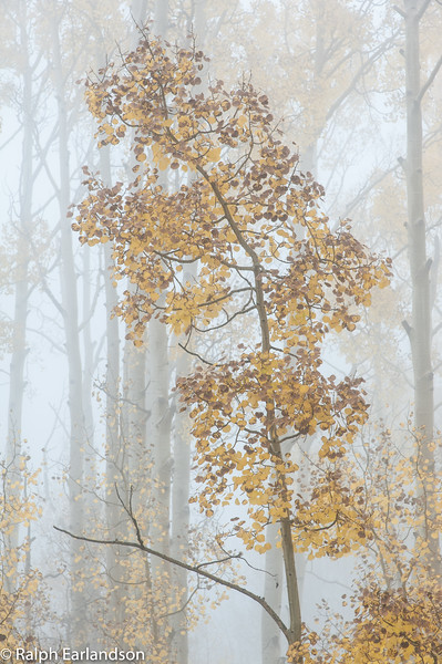 A fog-bound aspen in fall color along Utah Highway 12.