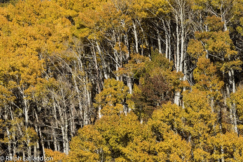 Aspens in fall color near Bishop Creek. You can see their trunks through a gap in the canopy.