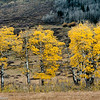 A row of aspens in full fall color along Utah Highway 12.