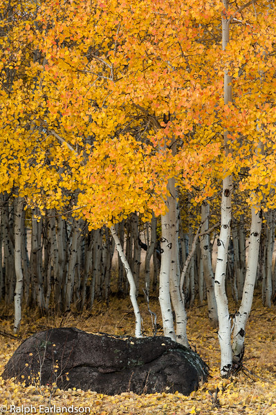 Aspens in fall color along Utah Highway 12.