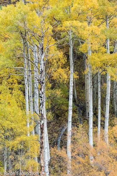 Aspen trunks and fall color near Bishop Creek.