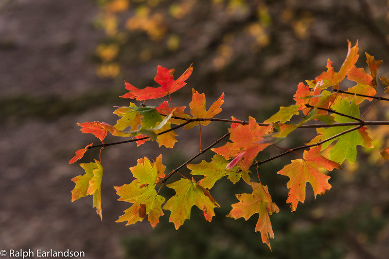 Maple leaves in fall colors in Hidden Canyon, Zion.