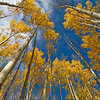 Looking up into the aspens