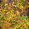 Autumn leaves - painterly version