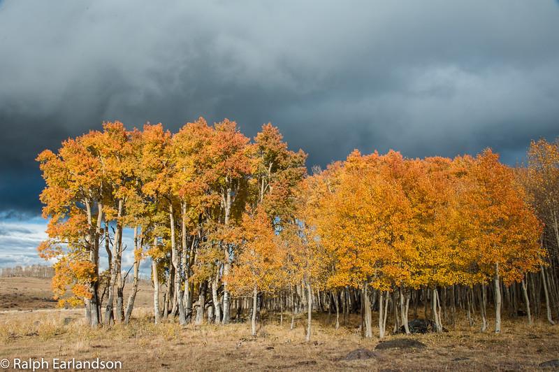 Aspens in fall colors near Utah Highway 12.