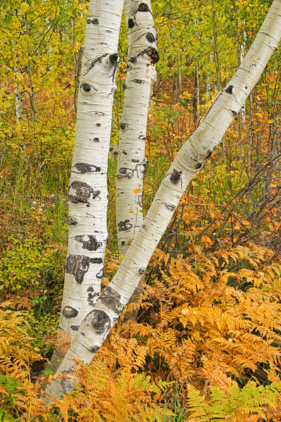 Aspen trunks and golden ferns