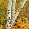 Aspen trunks and golden ferns