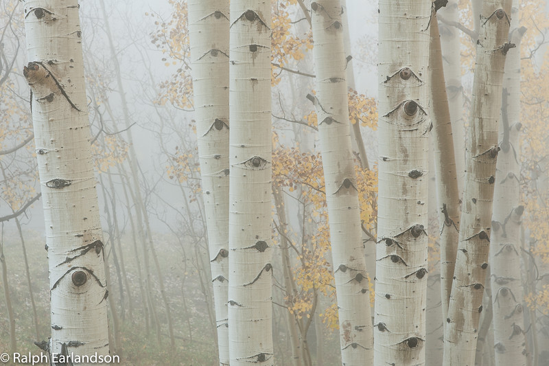 Fog-bound aspens in fall color along Utah Highway 12.