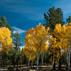 Aspens in full fall color along Utah Highway 12.