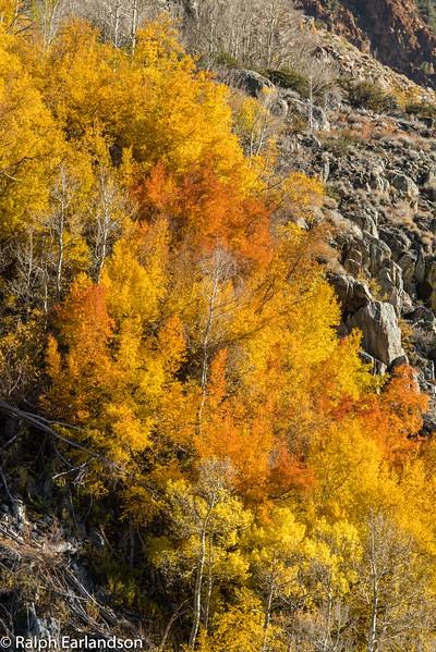 Aspens in orange and yellow splendor near Bishop Creek.