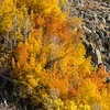 Aspens in orange and yellow splendor near Bishop Creek.