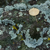 Lichens take up water and raindrops bead on fallen leaves. This photo was taken along Utah Highway 12.