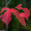 Red leaves in Devil's Lake State Park, Wisconsin.