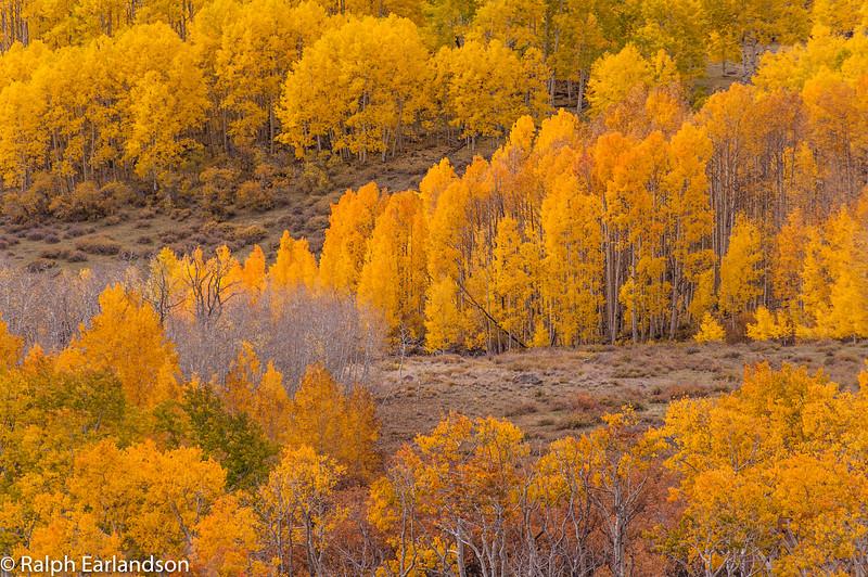 Aspens in full fall color along Utah Highway 12.
