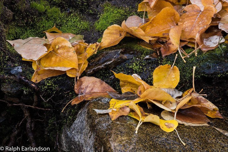 Fallen leaves on the banks of McGee Creek in the eastern Sierras.