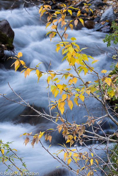 A branch with golden leaves over McGee Creek in the eastern Sierras.