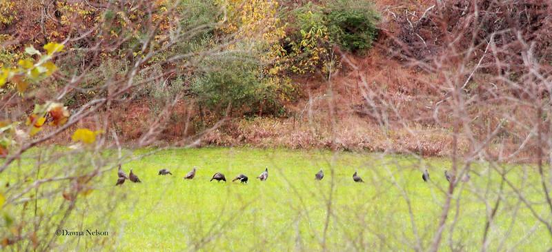 Field full of turkeys.