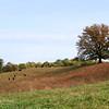 Cattle graze near a large oak.