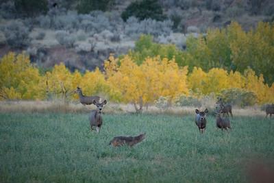 Coyote passing mule deer