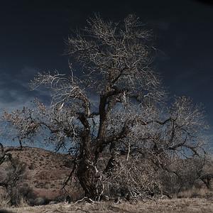 Elder cottonwood