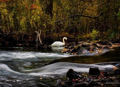 swan in stream
