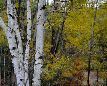 Birch trees in Autumn 1