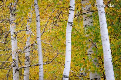 Birch Trees in autumn 2