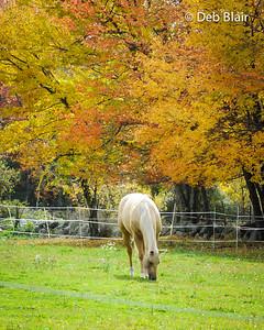 Horse grazing near foliage Mason, NH
