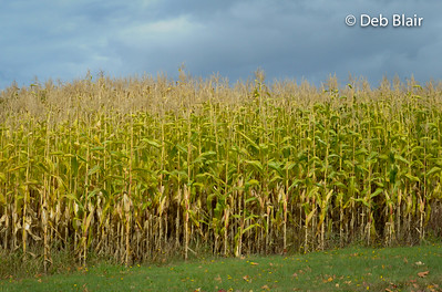 Corn field in Autumn 1