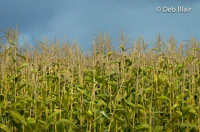 Corn field in Autumn 2