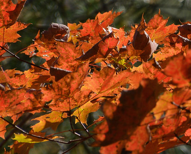 Red Maple Leaves in Woodstock in the Fall