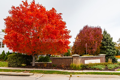 City neighborhood fall foliage changes; bright red, brown and evergreen.