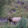 Getting ready for the fall rut.  3 Elk along Mission Creek, Aug 27th