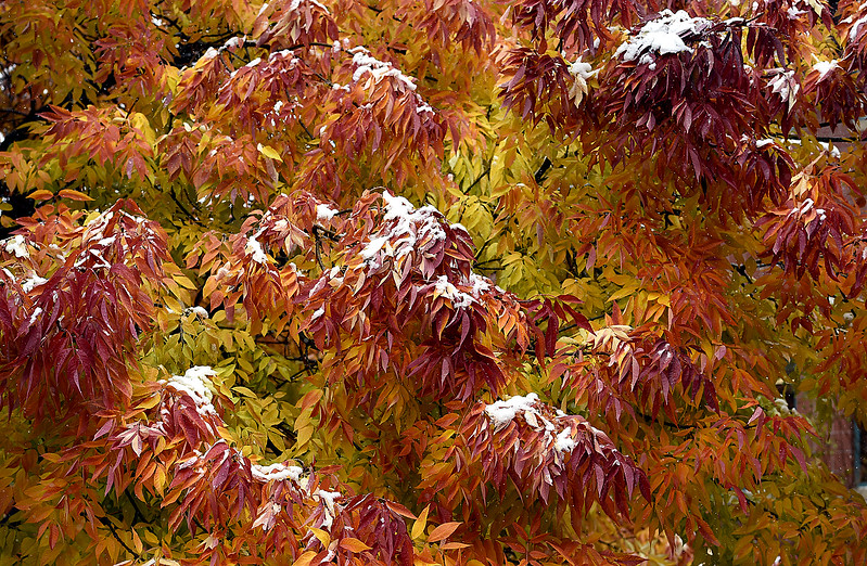Snow covers some of the fall colored leaves on a tree Monday, Oct. 9, 2017, at the civic center in downtown Loveland.  (Photo by Jenny Sparks/Loveland Reporter-Herald)