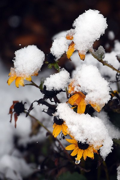 Flowers are covered by snow Monday, Oct. 9, 2017, at North Lake Park in Loveland.  (Photo by Jenny Sparks/Loveland Reporter-Herald)