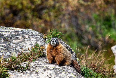 Yellow-Bellied Marmot, Beartooth Mountains, Wyoming  MK7D8778