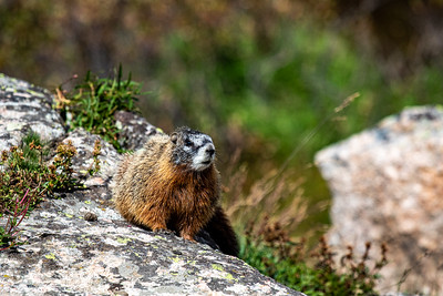 Yellow-Bellied Marmot, Beartooth Mountains, Wyoming MK7D8782