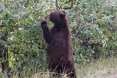 Black Bear MK7D8478