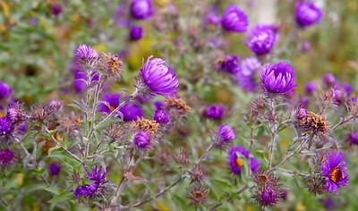 Purple flowers, The Morton Arboretum, Lisle, Ill., October 2015.
