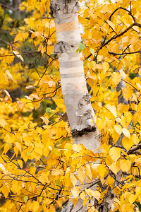 Birch Tree Beauty