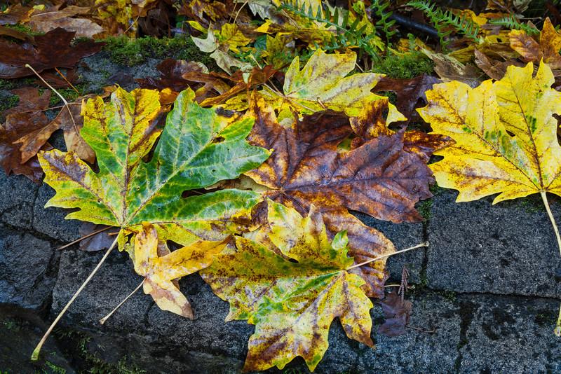Leaf Fall at Multnomah Falls