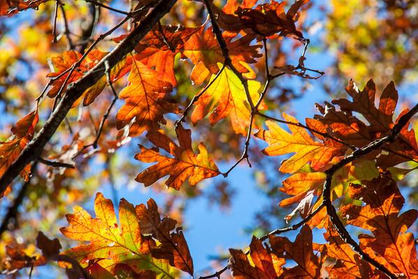 """""""fall oak"""""""