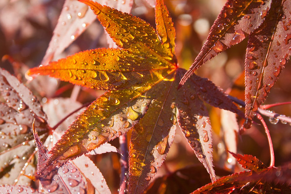 """maple leaf wet"""
