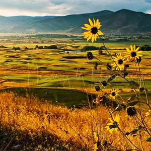 Heber Valley Sunflowers