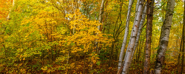Fall Leaves with Birch Trees in Mer Bleue