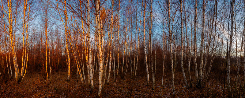 South Ottawa Slender Birch trees Panoramic