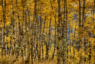 golden-fall-aspens-2