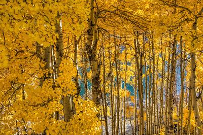 golden-aspen-leaves-1